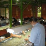 Final prep: getting ready for export, hand sorting coffee