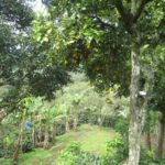 Fruit trees providing shade canopy for the coffee plants