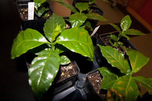 Some young coffee plants thriving thanks to Colleen Armstrong